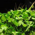 plante de fenugrec